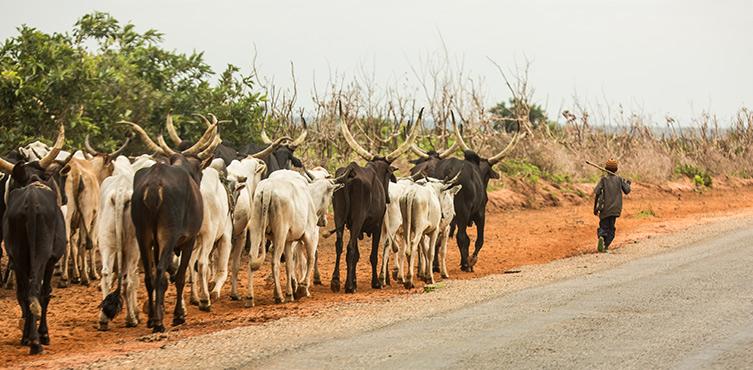 Bild: Ein Fulani-Hirte mit seiner Herde